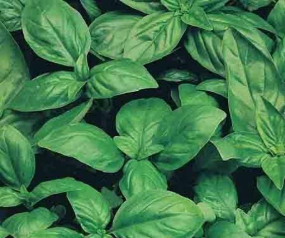 Базилик зелёный Стелла.