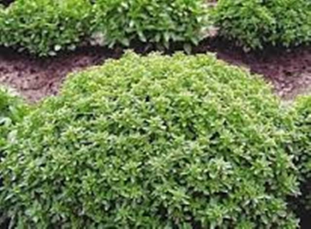Базилик зелёный Маркиз.