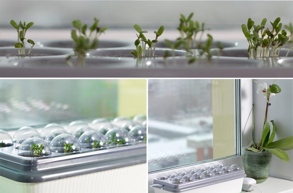 Зеленые-ростки-на-домашней-чудо_грядке